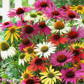 Эхинацея смесь, семена цветов, Украина