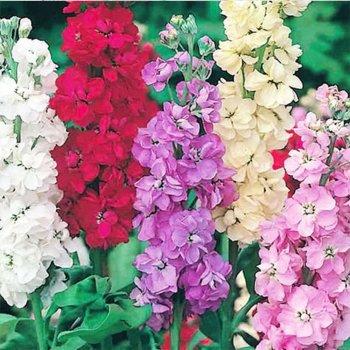 Маттиола седая Ассорти, смесь, семена цветов, Legutko, Польша.