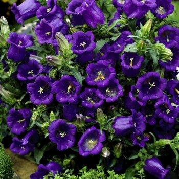 Колокольчик  средний насыщенно-синий, семена цветов, Legutko, Польша