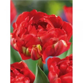 Тюльпан полный поздний Миранда (5 шт)