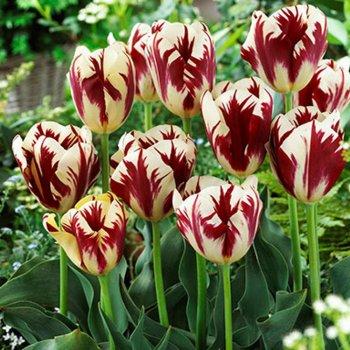 Тюльпан Рембрандта Гранд Перфекшн, луковицы цветов,  50 шт.