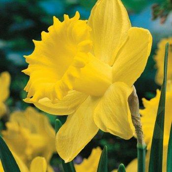 Нарцисс трубчатый Дач Мастер, луковицы цветов, Голландия