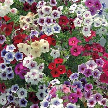 Флокс крупноцветковый, семена цветов, смесь,  Legutko, Польша.