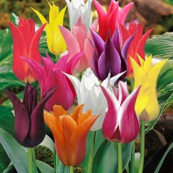 Тюльпаны лилиецветные смесь, 25 шт.