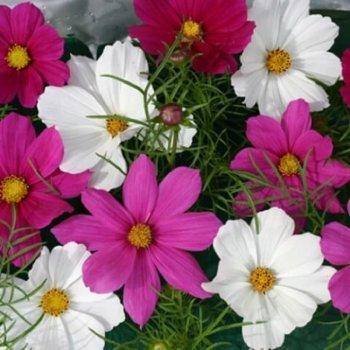 Космос Вега смесь, семена цветов, Legutko, Польша