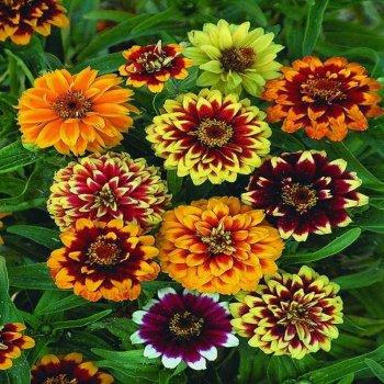 Цинния Древний Мехико, семена цветов, Legutko, Польша