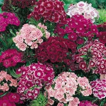Гвоздика турецкая супермахровая, семена цветов, Legutko, Польша.