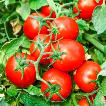 Томат Чибли, сливка, среднеранний, семена, 20 штук, Syngenta, Голландия