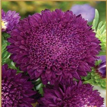 Астра Принцесса Виолет, семена цветов, Legutko, Польша.