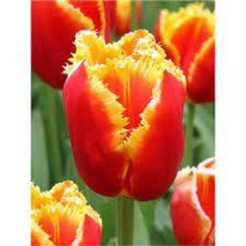 Тюльпан бахромчатый Давенпорт (25 шт.)