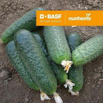 Огурец Беттина F1, ультраранний, Nunhems BV, Голландия, 6 кг с одного куста