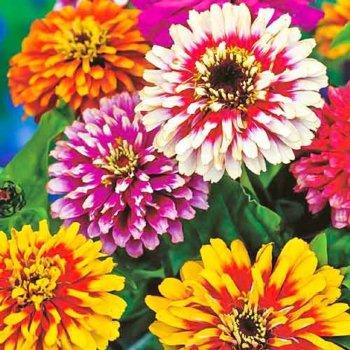Цинния Карусель, смесь, семена цветов, Legutko, Польша