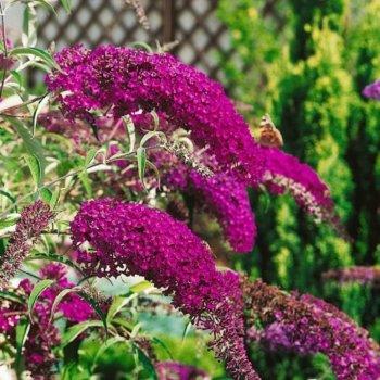 Буддлея Давида пурпурно-фиолетовый, семейство Норичниковые, Legutko, Польша
