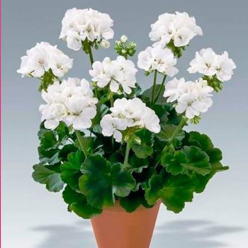 Пеларгония Бланка белая, семена цветов, Cerny, Чехия