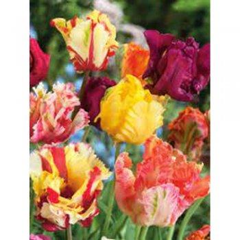 Тюльпаны попугайные смесь