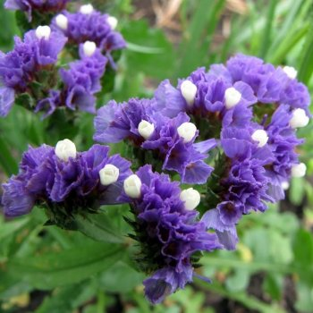 Кермек насыщенно-синие, семена цветов, Legutko, Польша