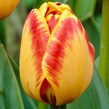 Тюльпан Банья Лука (50 шт.)