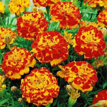 Бархатцы Медовые соты, семена цветов, Legutko, Польша