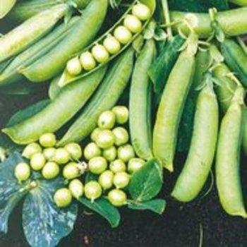 Горох овощной Эдди 10 г, среднеспелый, Hazera, Голландия