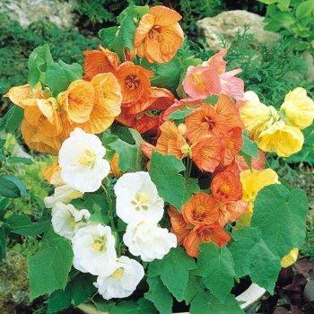 Абутилон гибридный, семена цветов,Legutko, Польша