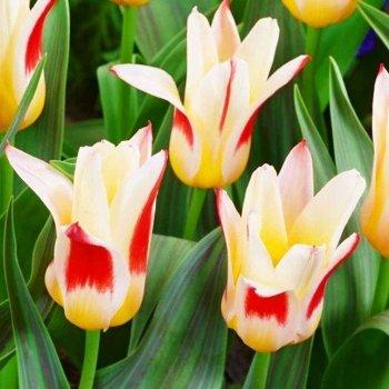 """Тюльпан """"Иоганн Штраус"""" 5 шт."""