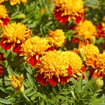 Бархатцы Оранж Флейм, семена цветов, Legutko, Польша