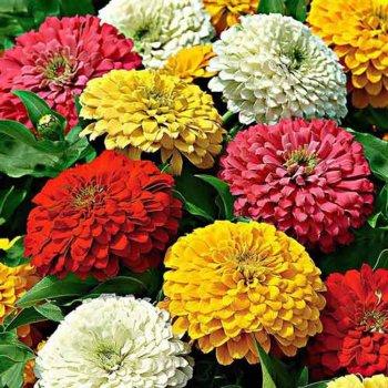 Цинния Калифорнийский гигант, смесь, семена цветов, Legutko, Польша