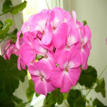 Пеларгония Павла, семена цветов, Cerny, Чехия
