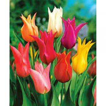 Тюльпаны лилиецветные смесь