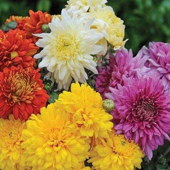Хризантема Фанфары, смесь, семена цветов, Legutko, Польша.