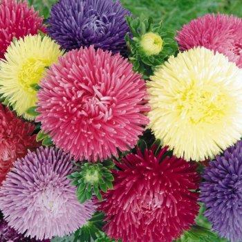 Астра Идеал смесь, семена цветов, Legutko, Польша.