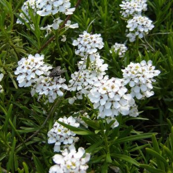 Иберис снежинка, семена цветов, Legutko, Польша.