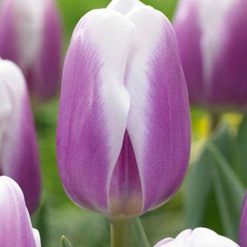 Тюльпан триумф Либрие (15 шт)
