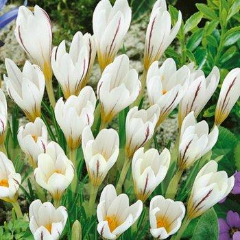 Крокус разноцветный Пиктуратус (15 шт.)