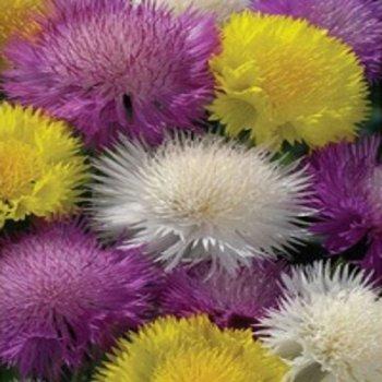 Василек Мускатный, семена цветов, Legutko, Польша