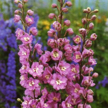 Дельфиниум многолетний Юниор, семена цветов, Legutko, Польша
