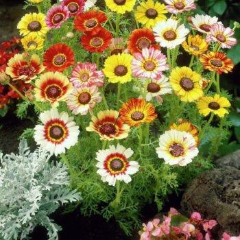 Хризантема Посевная, смесь, семена цветов, Legutko, Польша.
