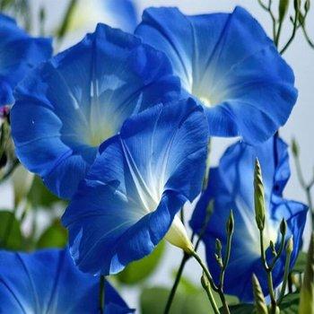 Ипомея  Хевенли блю,семена цветов, Legutko, Польша.
