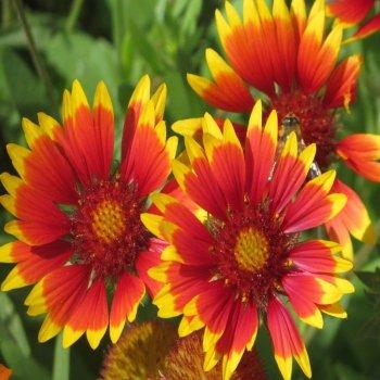Гайлардия Прима, семена цветов, Legutko, Польша.
