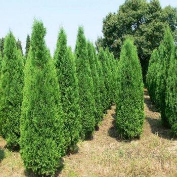 Туя западная, семена древовидных, Legutko, Польша