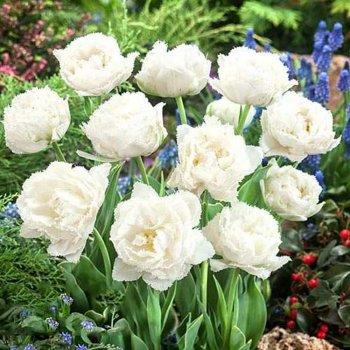 """Тюльпан бахромчатый """"Сноу Кристал"""" 1 шт."""