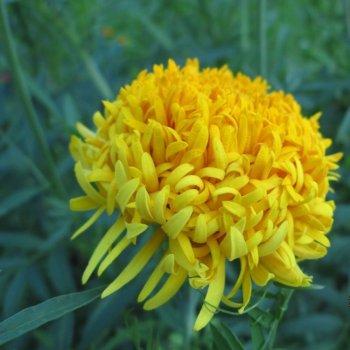 Бархатцы Фантастик золотистожелтые, семена цветов, Legutko, Польша