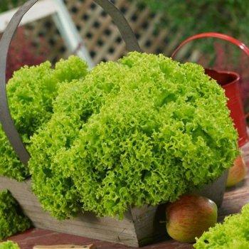 Салат листовой зеленый Левистро, ранний, Rijk Zwaan, Голландия