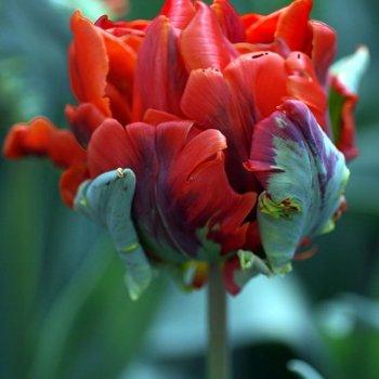 Тюльпан попугайный Рококо Дабл (15 шт.)