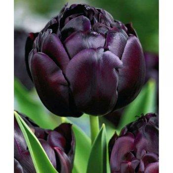 """Тюльпан """"Блек Хироу"""" 5 шт."""