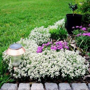 Алиссум Снежный ковер, семейство Капустные, однолетний кустарник, семена цветов, Legutko, Польша