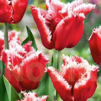 Тюльпан бахромчатый Нью Санта (15 шт.)