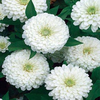 Цинния Лилипутик, семена цветов, Legutko, Польша
