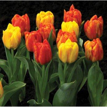 Тюльпан полный ранний Флейминг Бейби (15 шт)