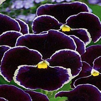 Виола Спаниш Айс, семена цветов, Legutko, Польша